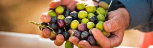 Секрет долголетия - оливки