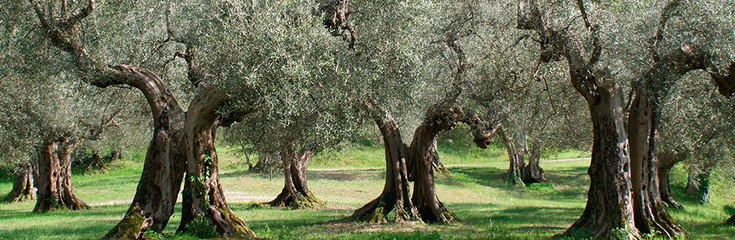 Оливковое дерево - мировое наследие!
