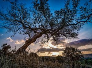 История оливкового дерева